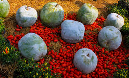 Der große grüne Kürbis und die Tomate Lizenzfreies Stockfoto
