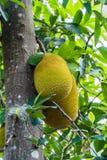 Der große Jackfruit auf Jackfruitbaum Lizenzfreies Stockfoto