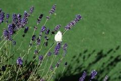 Der große Kohlweißschmetterling auf der Lavendelblüte lizenzfreie stockfotos