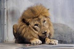 Der große männliche Löwe, der auf dem Boden im Zoo sitzt stockbilder