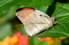 Der große orange Tipp-Schmetterling alias das Hebomoia-glaucippe. Stockbild