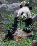 Der große Panda, der Bambus isst Lizenzfreie Stockbilder