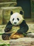 Der große Panda sitzt und hält einen Bambuszweig in seinen Tatzen stockbild