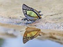 Der große Schmetterling Nawab Polyura stockbild
