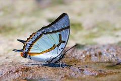 Der große Schmetterling Nawab Polyura lizenzfreie stockfotografie