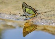 Der große Schmetterling Nawab Polyura lizenzfreies stockfoto