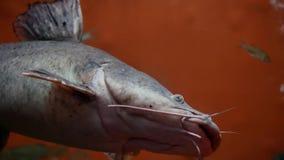 Der große schwarze bagrid Wels, der taucht, um vom Aquarium und von der Schwimmen weg einen Tiefstand zu erreichen stock video