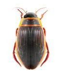 Der große Tauchenskäfer (Dytiscus marginalis). Stockbilder