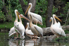 Der große weiße Pelikan lizenzfreie stockfotos