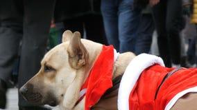 Der große weiße Hund eines obdachlosen Bettlers liegt in einem lustigen Santa Claus-Kostüm, Leutedurchlauf vorbei stock video footage