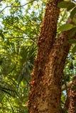 Der Gumbo-Überhangsbaum ist eine Heilpflanze stockbilder