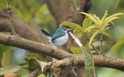 Der hübsche gemeine Tailorbird, der in der Natur genießt stockfotografie