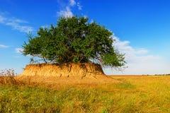 Der Hügel mit einem einsamen Busch auf dem Gebiet Stockfotografie