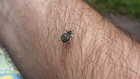 Der haarige Käfer Lizenzfreie Stockfotografie
