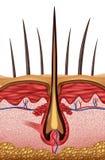 Der Haarschaft wächst vom Balg, das aus umgewandeltem Hautgewebe besteht Stockfotografie