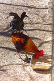 Der Hahn pecks Korn von einer Speicherungsabflussrinne stockbilder
