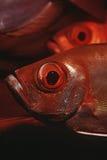 Der Halbmondendstück-Großaugen des Mosambik-Indischen Ozeans Nahaufnahme (Priacanthus hamrur) Lizenzfreies Stockfoto