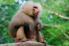 Der hamadryas Pavian sitzt auf einer Niederlassung Lizenzfreie Stockfotografie