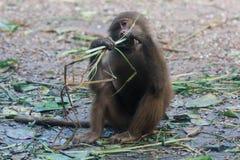 Der hamadryas Pavian sitzt und isst Gras Stockfotos