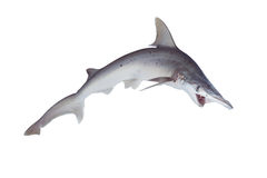 Der Hammerhai oder das shovelhead, Sphyrna tiburo, im Profil lizenzfreie stockbilder