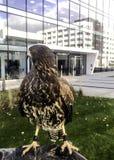 Der Harris-` s Falke früher bekannt als der Bucht-geflügelte Falke oder düsterer Falke Stockfoto