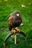 Der Harriss Falke oder Bucht-geflügelter Falke- oder düstererfalke Stockfoto