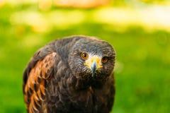 Der Harriss Falke oder Bucht-geflügelter Falke- oder düstererfalke Stockbilder