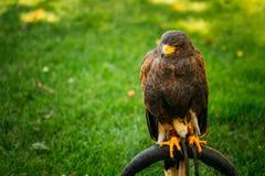 Der Harriss Falke oder Bucht-geflügelter Falke- oder düstererfalke Stockfotos