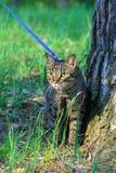 Der Hauskatze der getigerten Katze erstes Mal draußen auf einer Leine Lizenzfreie Stockbilder