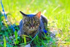 Der Hauskatze der getigerten Katze erstes Mal draußen auf einer Leine Lizenzfreie Stockfotos