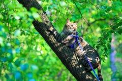 Der Hauskatze der getigerten Katze erstes Mal draußen auf einer Leine Stockfotos