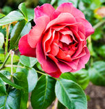 Der heiße Kakao rote Rose Stockfoto