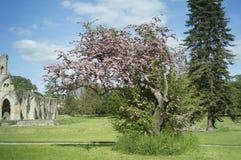 Der heilige Dorn, Glastonbury Lizenzfreies Stockbild
