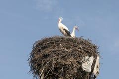 Der heilige Storch im Nest Lizenzfreie Stockfotos