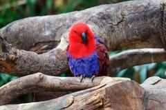 Der hell mit Federn versehene Papagei Lizenzfreies Stockfoto