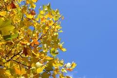 Der Herbstlaub gegen den sonnigen Tag des blauen Himmels Stockfotos