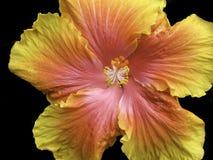 Der Hibiscus Lizenzfreies Stockbild