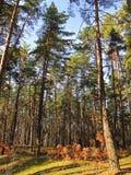 Der Himmel in einem Kiefernwald Stockbild