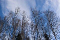 Der Hintergrund des Frühlingsbaums und des blauen Himmels Lizenzfreies Stockfoto
