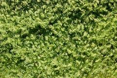 Der Hintergrund des grünen Grases Der Hintergrund wird verwischt Sprösslingsgrüns Lizenzfreies Stockfoto