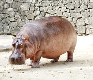 Der Hippopotamus stockbild