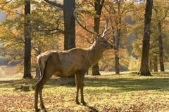 Der Hirsch stockbilder