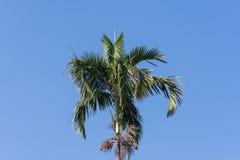Der hohe Betel plam Baum lizenzfreies stockbild