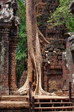 Der hohe Feigenbaum keimte durch Wände in Angkor-Tempel Lizenzfreie Stockfotografie
