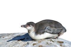 Der Humboldt-Pinguin stockfotos