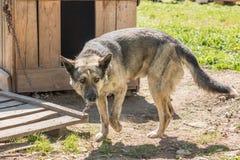 Der Hund auf der Kette geht um den Stand Lizenzfreies Stockbild