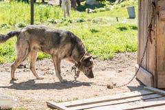 Der Hund auf der Kette geht um den Stand Lizenzfreie Stockfotos