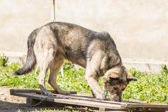 Der Hund auf der Kette geht um den Stand Stockfoto