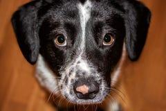 Der Hund betrachtet seinen Meister Lizenzfreie Stockfotografie