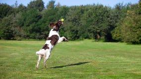 Der Hund, der einen Ball springt und fängt Stockbild